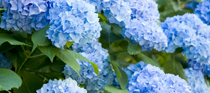 Hydrangeas are a fluffy and robust flower to have a wedding reception. But what is their symbolic meaning?