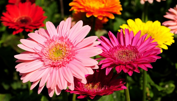 Gerbera Diasies for Summer Events